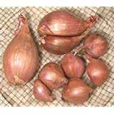 Shallots, 1 Pound, Freshly Harvested, Large to Medium Size, Restaurant Qulaity, Great for cooking with a succulent flavor, a gourmet delight.The amount of shallots depends on size & weight shallot.