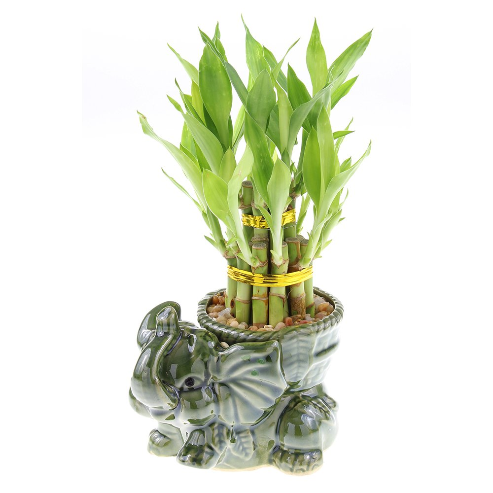Two Tiered Lucky Bamboo Tower in Unique Elephant Pot