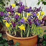 100 Dwarf Iris Mixed, Bulb Iris reticulata