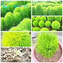 Sale!50pcs Bush Kochia Scoparia Seeds Red Perennial Grass Seed Bonsai Garden Ornamental Colorful Gift Plants Easy Grow