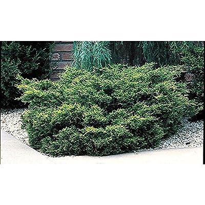 Juniper - Old Gold - Juniperus Chinensis - 6 Inch Pot - Drought Tolerant Evergreen : Garden & Outdoor