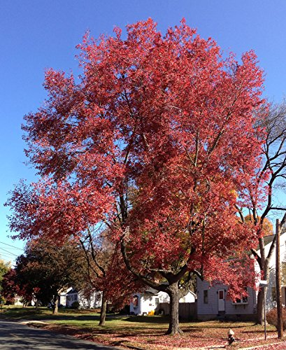 Red Maple Tree - Live Plants Shipped 2 to 3 Feet Tall
