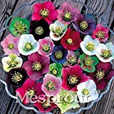 New Arrival! Japanese Bonsai Potted Plants Helleborus Seeds 100pcs DIY Home Outdoor Garden Plant Bulbs Flowers Like Camellia Bonsai Seeds on ice