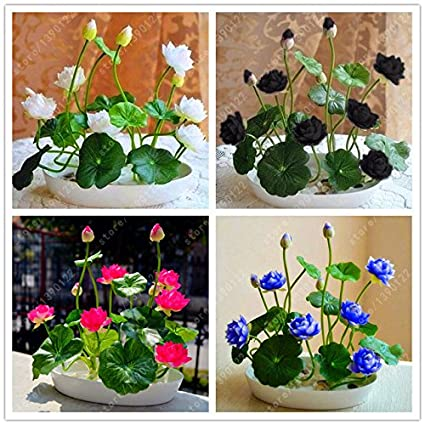 Amazoncom Seeds Solutions Flower Seeds Bowl Lotus Flower