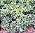 Kale, Dwarf Siberian, Organic 50+ Seeds, Non-gmo, Great For Salads, Stir Fry