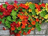 Curly Nasturtium Mix - 20 Seeds - Organically Grown - NON-GMO