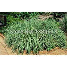 100/bag Heirloom Lemon Grass Seeds, Perennial Ornamental Grass, Turns Red in the Fall herb seeds for medical and eat