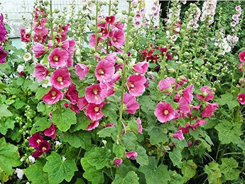 30+ Hollyhock Pink Malva Flower Seeds, Alcea Rosea Carnival, Self-seeding Biennial, Decorative, Blooms Heavily, Attracts Bees and Hummingbirds! From USA