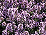Seeds Mother of Thyme Lemon Broadleaved Thymus Pulegioides Pink Flower Seeds Get 100 Seeds #SFB01YN