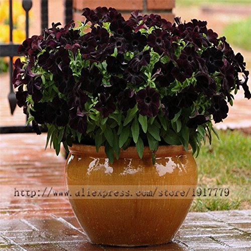 Brand New! 100 pieces/Black Petunia Seeds rare Black Petunia Flower Seeds in Bonsai indoor Flower Seeds for Home Garden Bonsai plant ()
