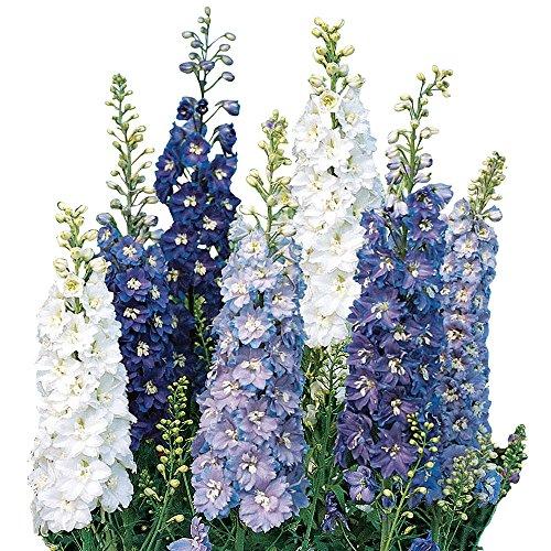 (Burpee Fantasia Mixed Colors Delphinium Seeds 100)