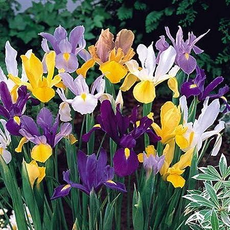 """100 Iris /""""Tall Dutch/"""" Mixed Fresh Spring Flowering Bulbs"""