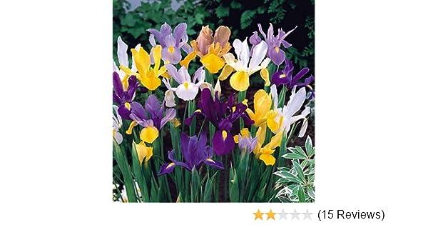 28d81ae2c5303a Amazon.com   40 Dutch Iris Bulbs
