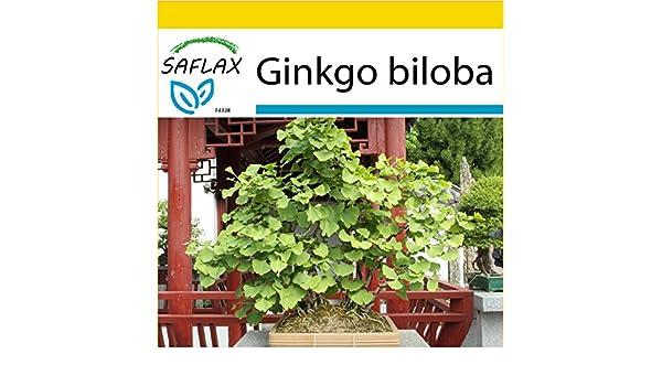 SAFLAX - Set de cultivo - Ginkgo - 4 semillas - Ginkgo biloba: Amazon.es: Jardín
