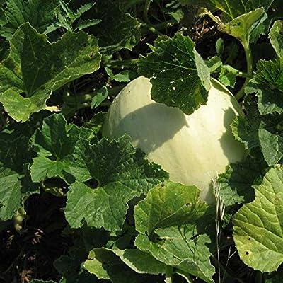 Honeydew Seeds - Green Flesh - Heirloom - Liliana's Garden : Garden & Outdoor