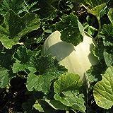 buy Honeydew Seeds - Green Flesh - Heirloom - Liliana's Garden now, new 2019-2018 bestseller, review and Photo, best price $5.99