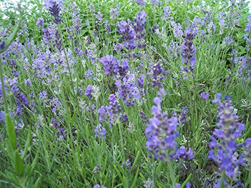 (Grosso Lavender 4 plants in 4, 4 inch pots)