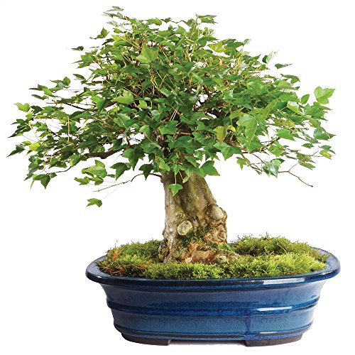 Brussel's Live Trident Maple Specimen Outdoor Bonsai Tree - 45 Years Old; 17'' Tall with Decorative Container by Brussel's Bonsai (Image #1)