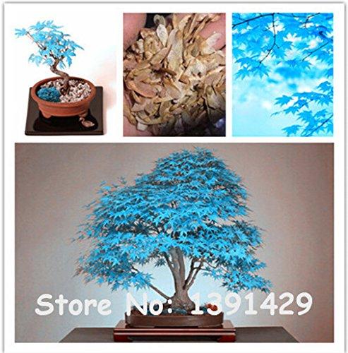 500 Stk Blaue Ahorn Samen Bonsai Samen Seltene Himmel Blau