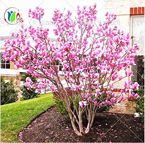Pinkdose® 30 Teile/beutel Magnolia Baum Magnolia Baum Bonsai Magnolia Blumen Für Hausgarten Diy Zierpflanze Baum Generic
