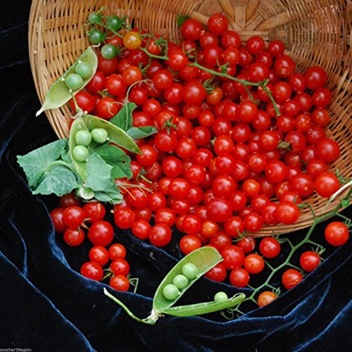 Currant Sweet Pea Red Tomato 25 Seed Natures Perfect Delicious Little Snacks - Red Mulch Tomatoes