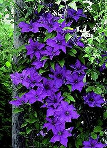 The President Clematis Vine - Deep Purple - 2.5