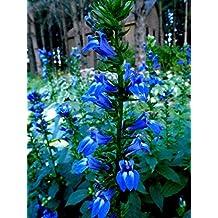 TALL GREAT BLUE LOBELIA Cardinalis PERENNIAL Rare Hardy Flower 300 Seeds