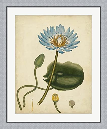 Amazon.com: Blue Water Lily by Henry Andrews Framed Art Print Wall ...