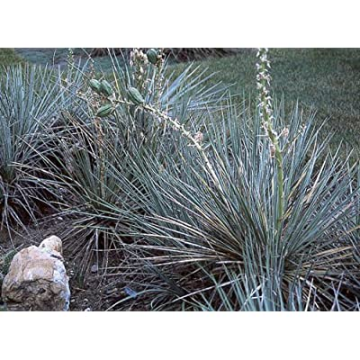 Dwarf or Soapweed Yucca Seed Drought/Frost Tolerant Succulent : Garden & Outdoor