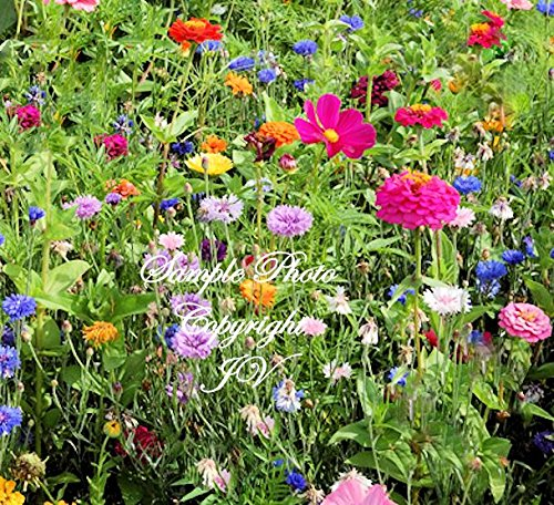 Serendipity's Butterfly Garden Wildflower seed Mix -Lots of Color! Butterflies Love Drought Tolerant Cut Flowers Easy to Grow! App 2500 Seed Pack Love Grows Wildflower Seeds