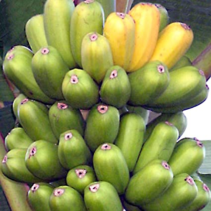 Amazon Com Hua Moa Cooking Banana Plant Live Fruit Tree Garden
