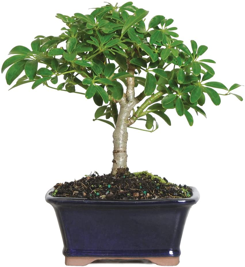 Amazon Com Brussel S Live Hawaiian Umbrella Indoor Bonsai Tree 3 Years Old 5 To 8 Tall With Decorative Container Garden Outdoor