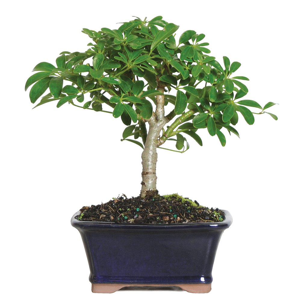 Brussel's Live Hawaiian Umbrella Indoor Bonsai Tree - 3 Years Old; 5'' to 8'' Tall with Decorative Container