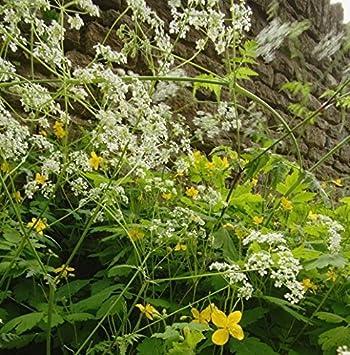 250 Seeds Cow Parsley Wildflower Seeds