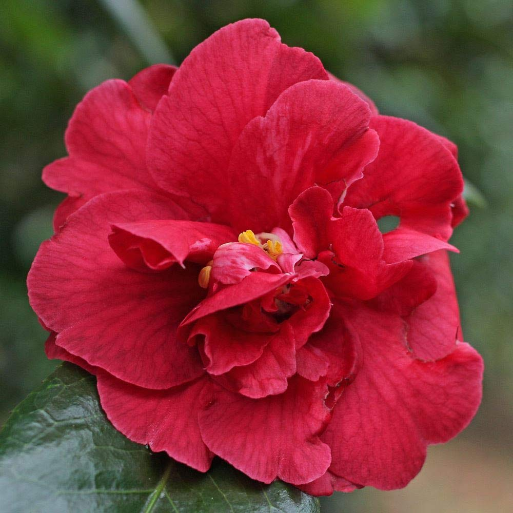 Camellia Japonica Adolphe Audusson - 3 Plants in 9cm Pots IR Plant and Garden Centre
