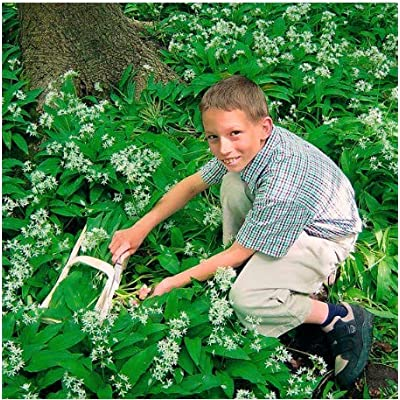 Seed House-KOUYE Rare Bear Garlic Plants, Delicious Ground Cover, Herbal Plants Seeds Hardy Perennial BIO- Seeds Herbs Seed Garden Wild Garlic : Garden & Outdoor