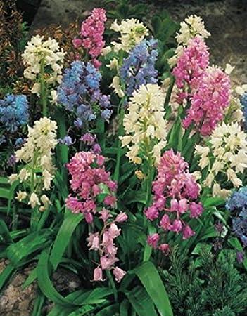 10 Blumenzwiebeln Hasengl/öckchen gemischt Hyacinthoides hispanica
