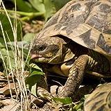 Miscuglio per tartaruga (Semente)