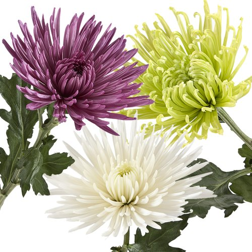 Wholesale Fresh Cut Spider Mums (Chrysanthemum) from the Farm (100 Assorted) by eFlowy