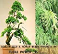 Hinoki Cypress Seeds ~ Japanese White Cypress - Chamaecyparis Obtusa - GROWN FOR ITS VERY HIGH QUALITY TIMBER - Zone 4 - 8 - Tree Seeds from Flora Power by Red Pine, Inc.