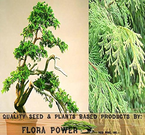Hinoki Cypress Seeds ~ Japanese White Cypress - Chamaecyparis Obtusa - GROWN FOR ITS VERY HIGH QUALITY TIMBER - Zone 4 - 8 - Tree Seeds from Flora Power by Red Pine, Inc. (00030 Seeds - Pkt. Size)