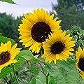 Non GMO Bulk Mammoth Grey Stripe Sunflower Seeds- Helianthus annuus