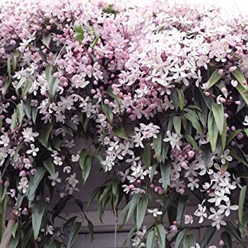 Winterharte Kletterpflanzen 3 clematis armandii apple blossom immergrün und winterhart