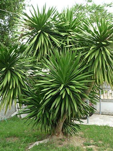 Thai Dracaena loureiri Ruscaceae 100 Seeds ThailandMrk