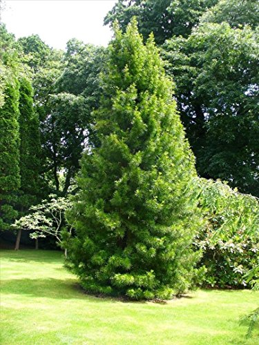 Japanese Umbrella Pine, Sciadopitys verticillata, Tree Seeds (Rare Evergreen) 8 seeds - Umbrella Pine Tree