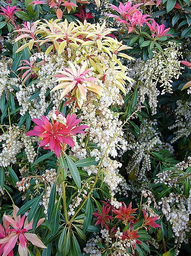 mountain-fire-lily-of-the-valley-shrub-japanese-pieris-4-pot