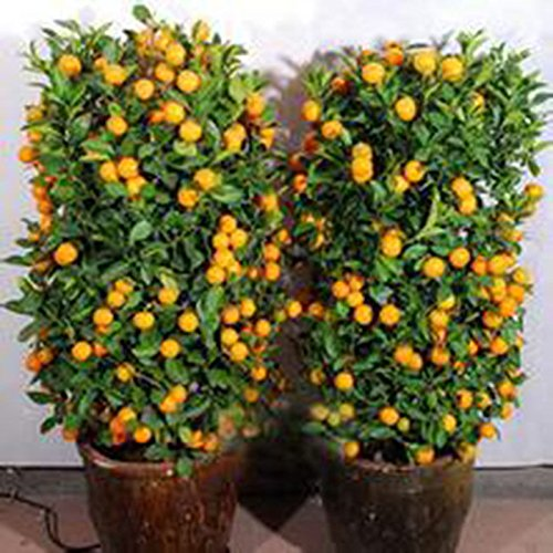 Ploy Mandarin Orange Dwarf Seeds Indoors Outdoors Fruit Tree seeds,bonsai seeds for home garden (Grafting Tomato Seeds compare prices)