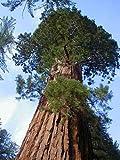 TROPICA - California Giant Redwood (Sequoiadendron gigantea) - 50 Seeds - Winter-Hardy