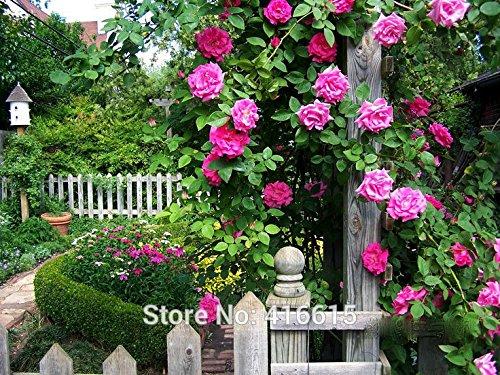 - 100 Rose Zephirine Drouhin Seeds Bourbon Heirloom Pink Rose Climber Climbing Rose Seeds Bonsai Flower And Garden Plants Seeds