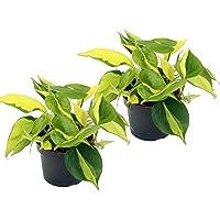 Efeutute, Scindapsus, (Epipremnum aureum) Sorte: Brasil, gelb-grünes-buntes Blattwerk, rankend, Ampelpflanze, luftreinigend